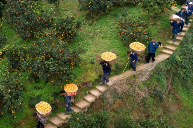 """《农村电商发展趋势报告》:拼多多创新农业""""超短链"""",成中国农货上行主要推动者"""