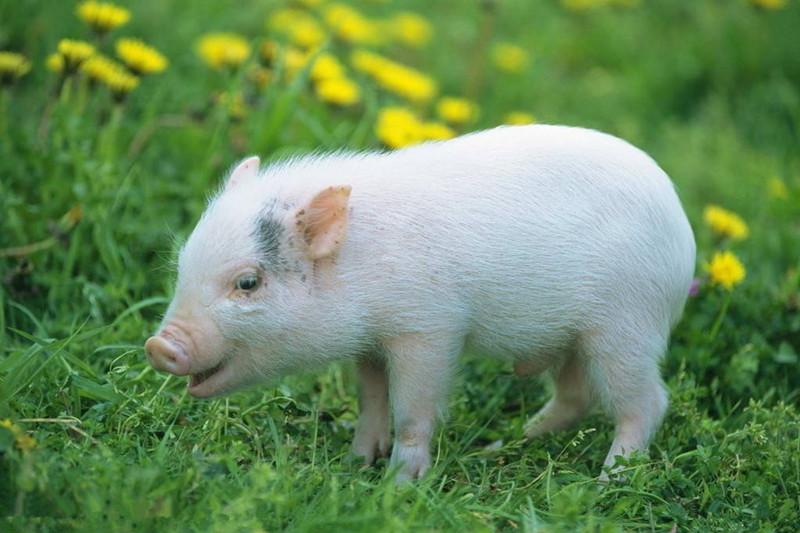 央视 | 猪价持续走低,国家不会出台相关补贴