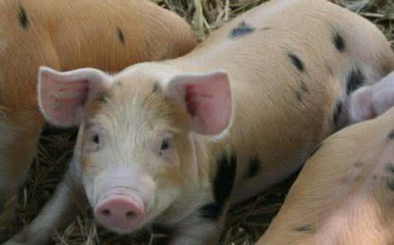 农业部放话了:2017年大力稳生猪!