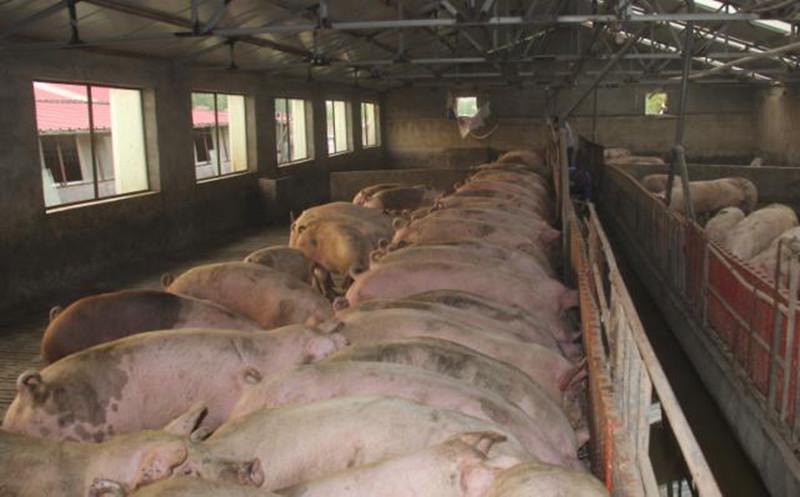 不要再这样养猪了!很多养猪人栽了大跟头