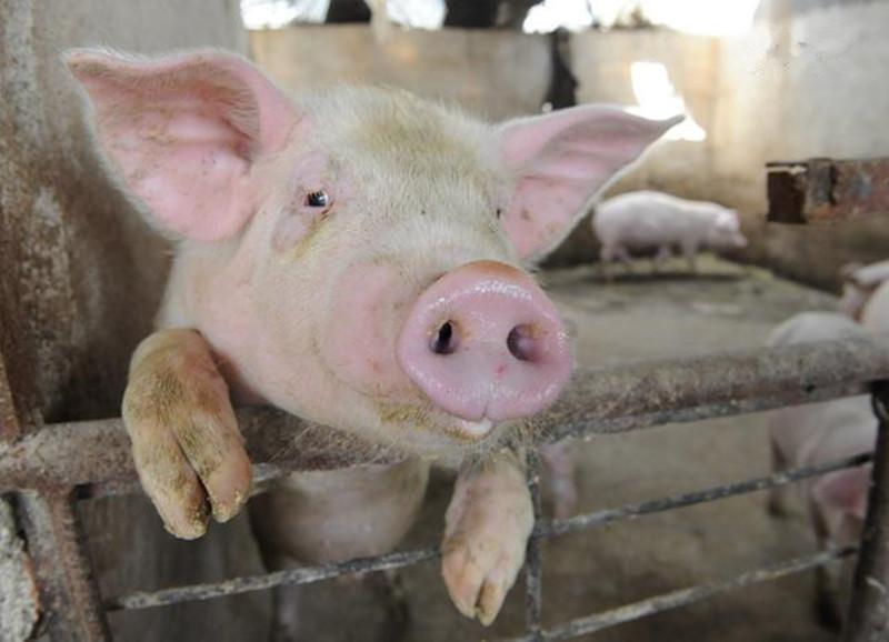养猪人注意,猪场老板总结养猪语录大全,总有一条你会用到!