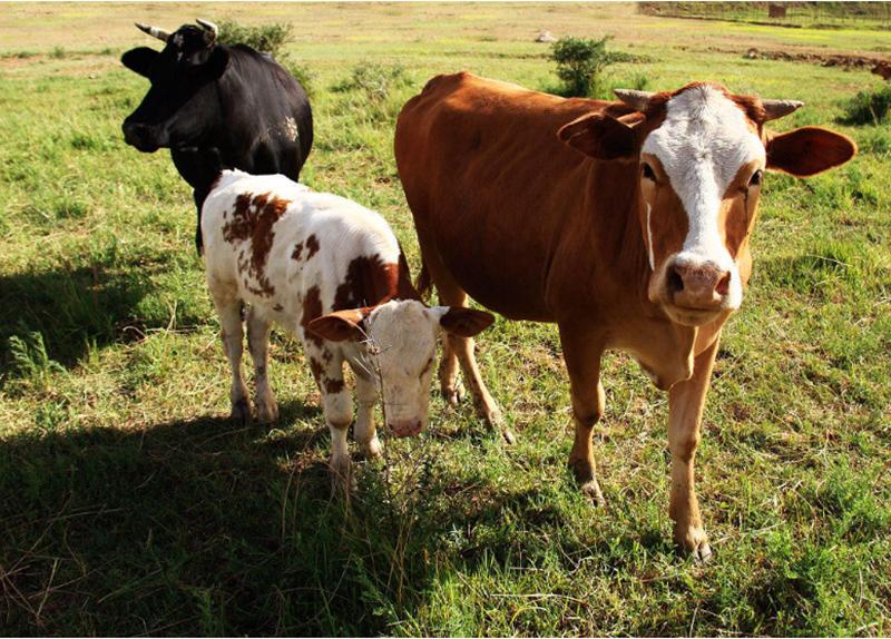 案例|养殖肉牛,3年销售小目标1个亿,90后返乡创业者怎样实现