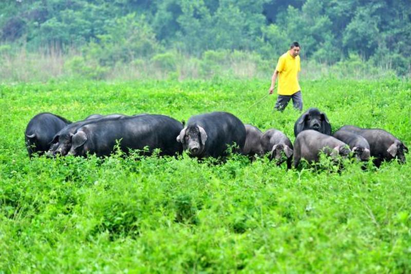 种养结合中的畜禽养殖现状与对策