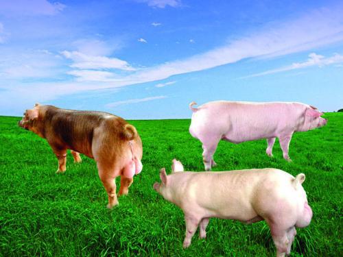 深度策划|种猪行业或将革命:不洗牌,将没有巨头!