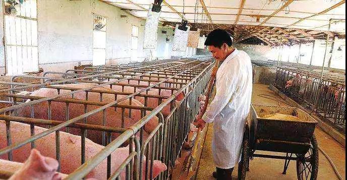 新模式 丁磊养猪、农科院养猪:卖猪不如卖模式!