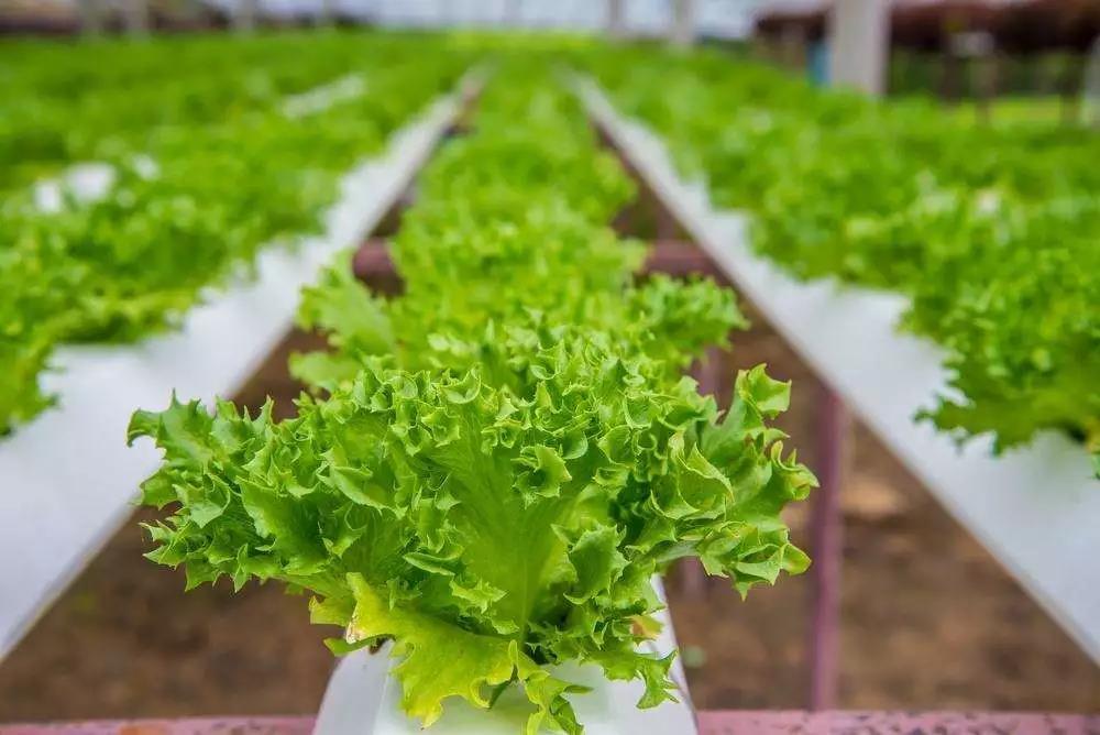 继养猪之后,京东又发力种菜,但水培蔬菜不是一门好生意