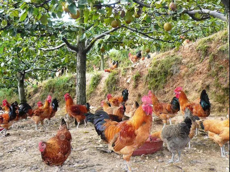 不外传!林下养鸡10大经营秘籍