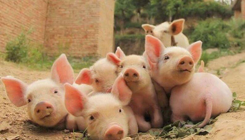 行业大事件!猪伪狂犬病防控难题被中国企业打破