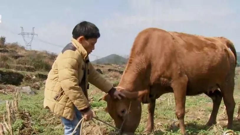 小个子农村创业者养牛秘诀,可复制!