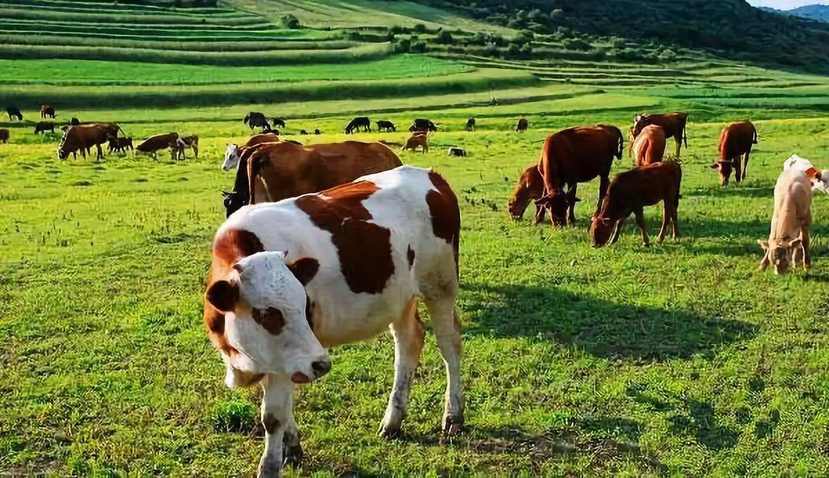 畜牧互联网再次引爆:阿里养猪,京东养牛、行业格局或将重构
