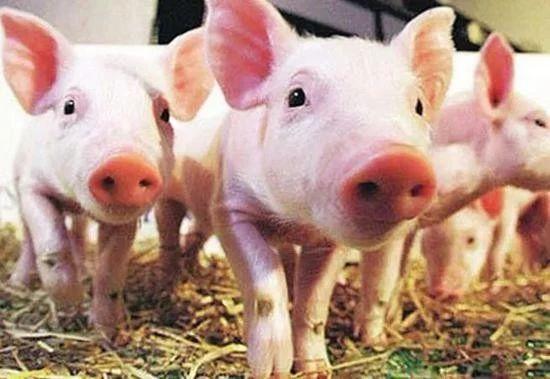 微生物技术的革命:要让猪肉便宜到白菜价!
