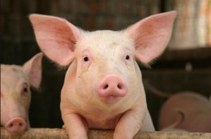 """生猪系列报告:2020年将进入""""缺猪又缺肉""""的一年"""