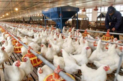 禽系列研究之五:如何理解当前白羽鸡的供给?