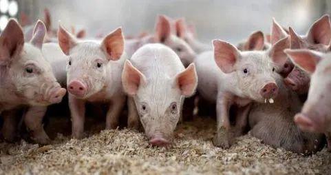 【实用】猪场实用数据表格大全(建议养猪老板收藏)