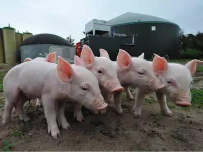 【海外农业】欧洲六国养猪业考察报告,看我们的差距在哪?