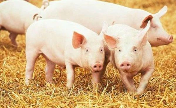 从生猪出栏、存栏量、支持政策等看2020年中国生猪养殖行业发展现状及发展趋势