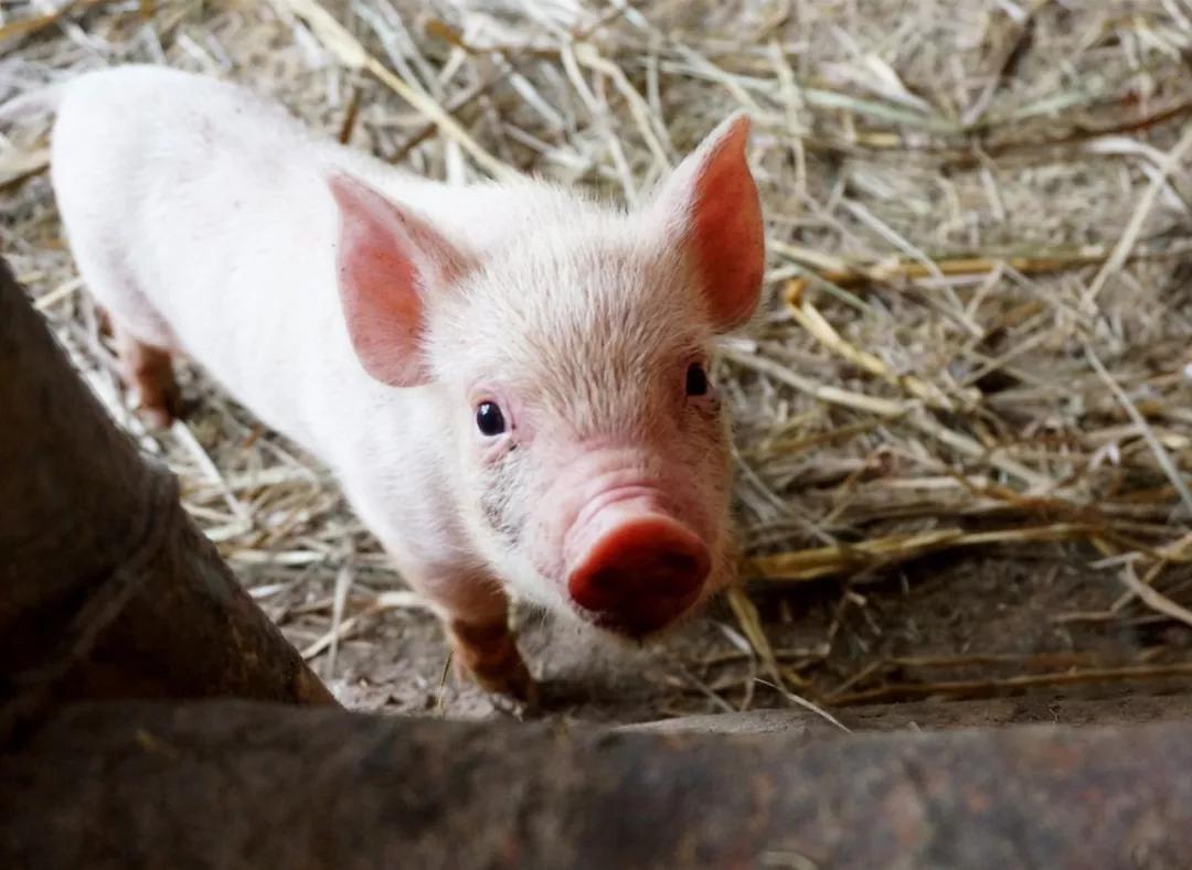 【案例】农业农村部:共享养猪!这会是新风向吗?