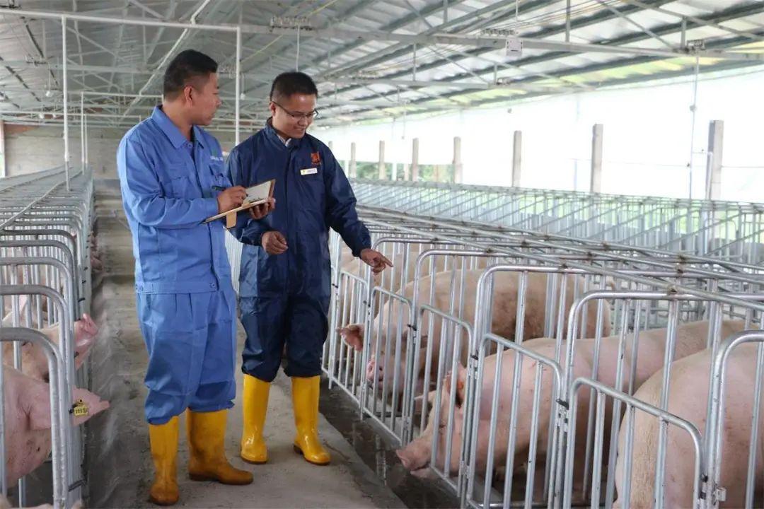 【行业分析】揭示规模猪场倒闭的5大原因,最后1个最要命......
