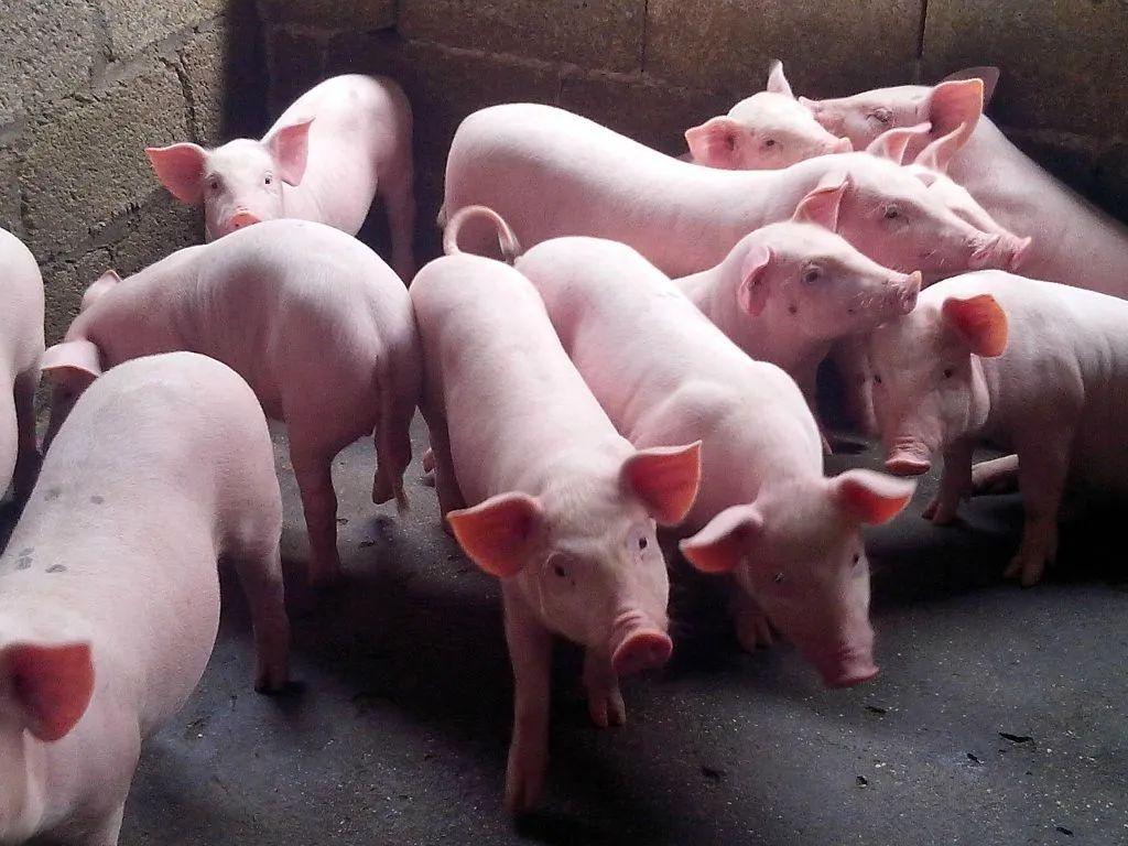 【一起养猪】算算养100头猪需要投资多少钱,能挣多少钱?