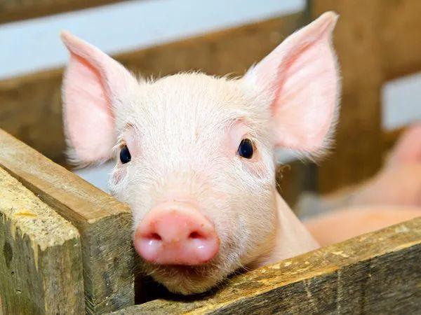【行业分析】18家猪企净赚495亿元!而养鸡的却流下了泪水!!