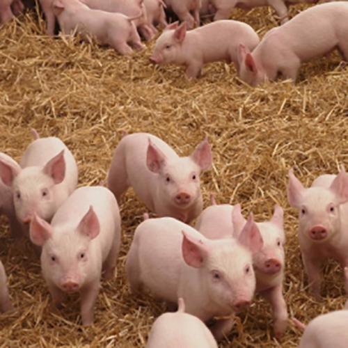 【华畜案例分析】断奶仔猪拉稀比例60%降至1%,原来技巧在这里