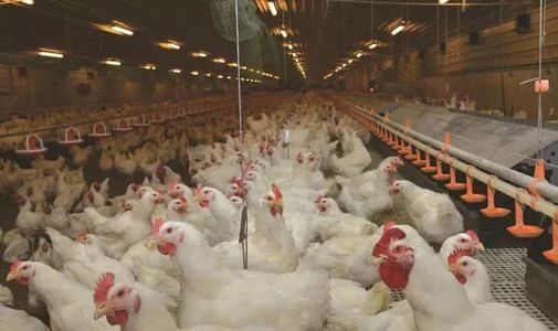 面对千亿级消费需求,万科终究会养鸡的!