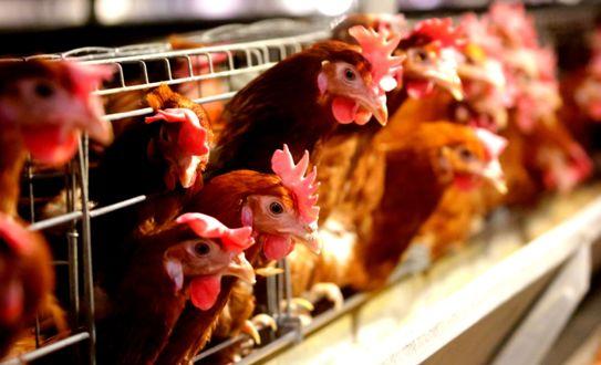 【智能养殖】5个工人管理1000头奶牛!对于智能化养殖,你怎么看?