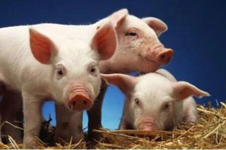 猪周期来了,养猪大佬都在拼成本,正邦科技靠什么追赶牧原