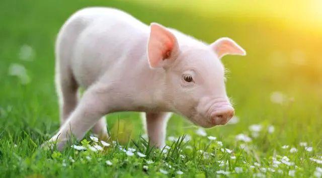 【养猪企业】正大、扬翔、石羊、新农等4家养猪企业冲刺上市,哪家更有胜算?