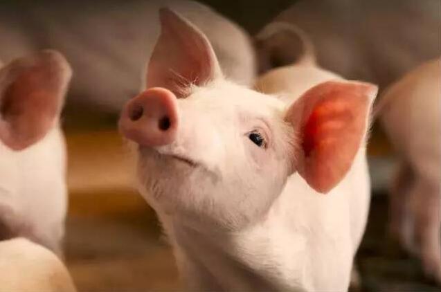 楼房养猪:政策支持,但养猪企业却小心翼翼,问题出在哪里
