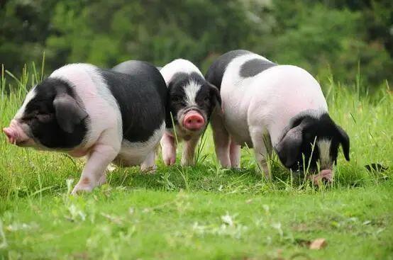 【农业科技】养猪企业为何热衷智能养殖