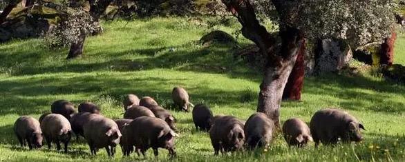 每头猪卖11000元还供不应求,因为找到养殖业病根