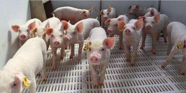 我国生猪产能不足开始凸显,难道要重蹈美国大豆战争覆辙?