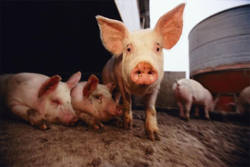 5天又爆4例,非洲猪瘟的中国故事会改变什么?