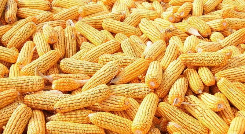 """玉米价格持续下跌,玉米产业""""绝地反击""""能成功吗"""