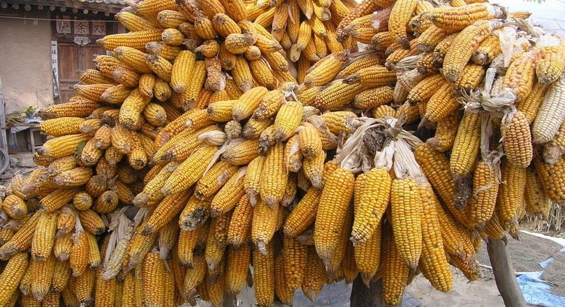 年底赶紧把玉米卖了,不然你会吃大亏!