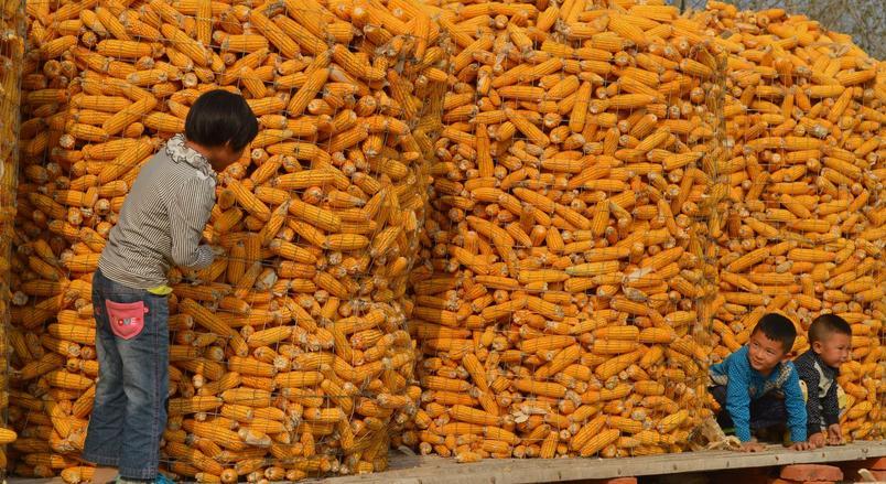 喜讯|农民不用发愁卖玉米了,预测2017年会涨价