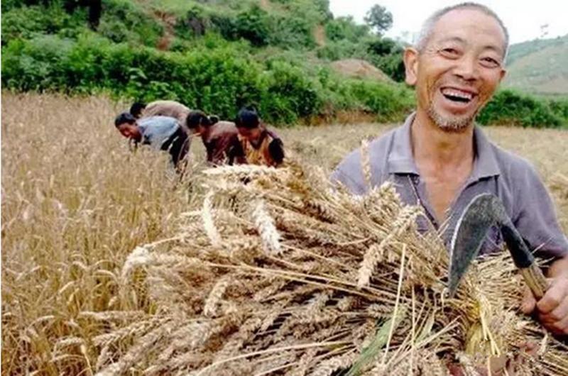 小麦收后,农民今年到底该不该继续种植玉米?
