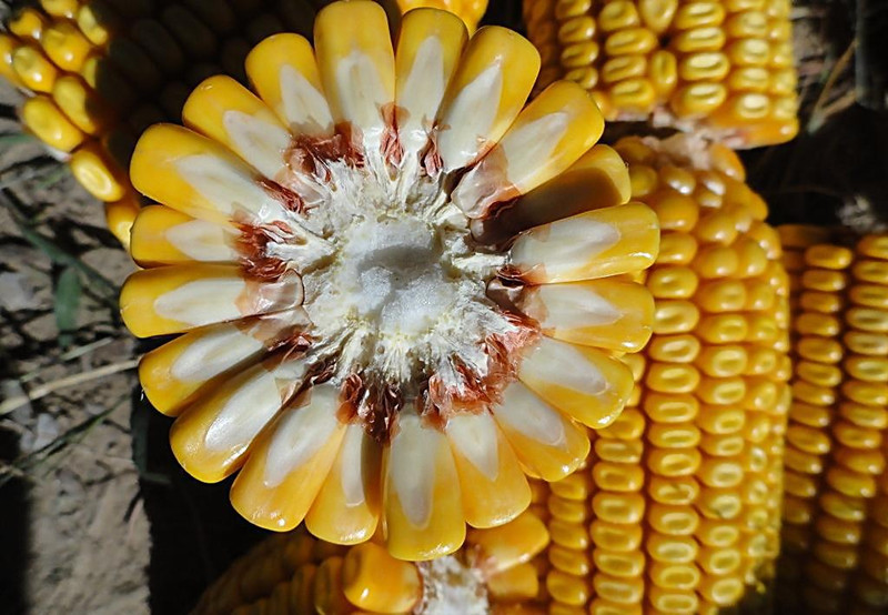 每亩交7元,可翻倍获赔850元!东北四省区玉米保险流程!
