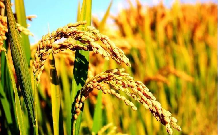 中国水稻种植迎来新机遇!