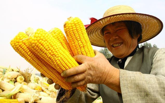 玉米水稻补贴来了!但南北落差大,你如何应对?