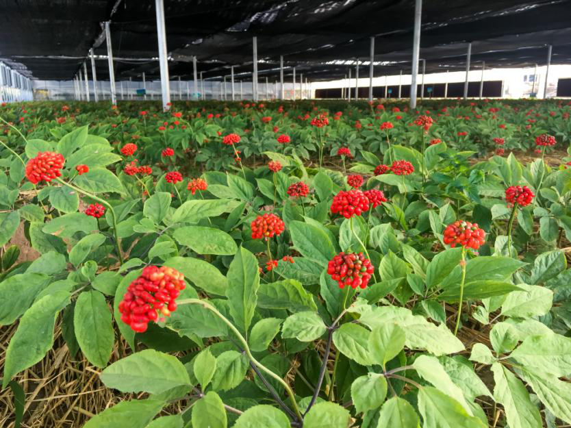 赋能乡村振兴 华盛绿能高科技光伏大棚实现人参规模化种植