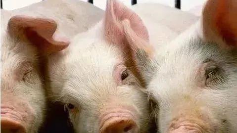 生猪全球大地震,缺猪时代来临了