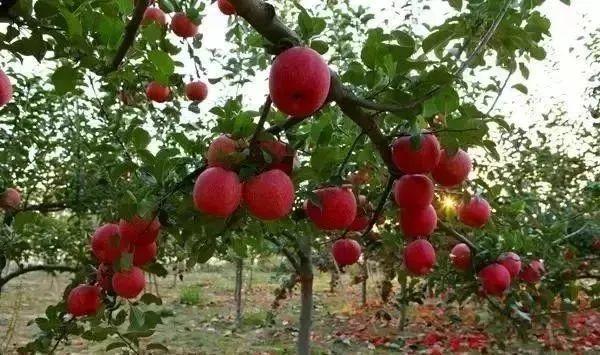 【案例】100亩果园4年爆亏,只留下10条教训,再也不想种地了