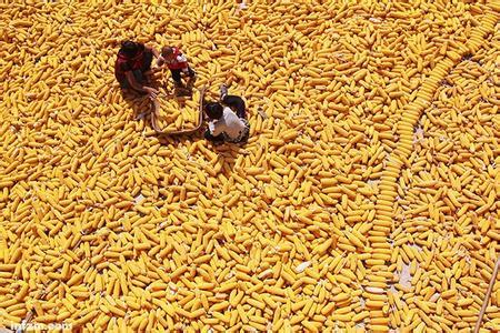种植业做出调整!今年玉米面积调减超3000万亩