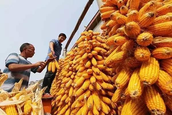 玉米价格年前难突破8毛钱,农业部:明年再减1000万亩