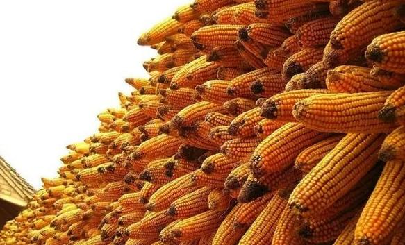 赶紧收藏!农户这样储存玉米可减少损失!