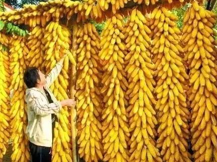 史上最全玉米补贴解读,农民必收藏!
