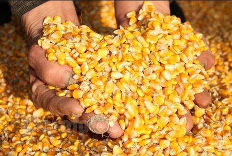 玉米良种持续下滑,马铃薯今年能否顺利上位?