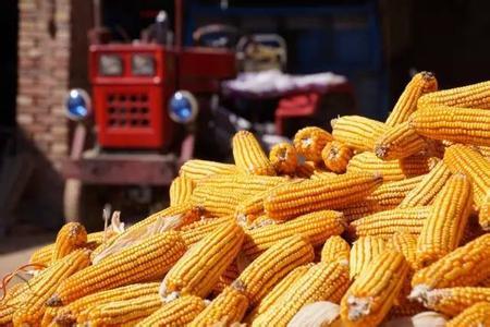 今年玉米补贴下来啦!有多少?怎么补?快来看看!